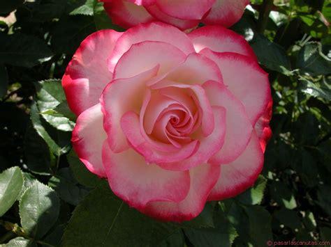 imagenes de flores solitarias belezas do mundo as flores mais lindas