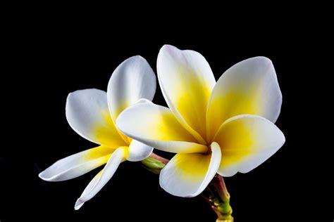 frangipani fiore free photo blossom bloom flower frangipani free