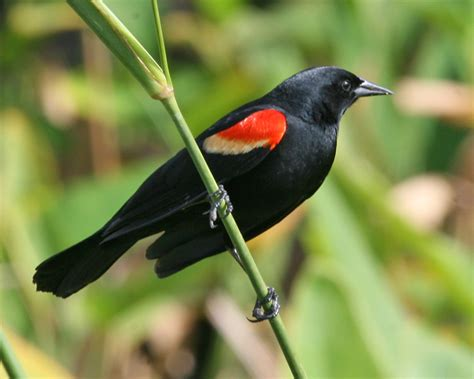 red winged blackbird photos birdspix