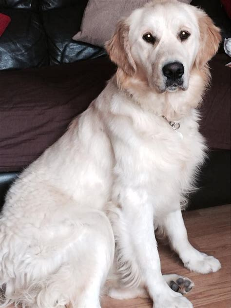 golden retriever 10 years golden retriever 10 months nottingham nottinghamshire pets4homes