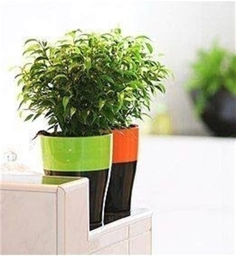 Ficus Benjamin Secco by Ficus Benjamina Ficus Come Coltivare Il Ficus Benjamina