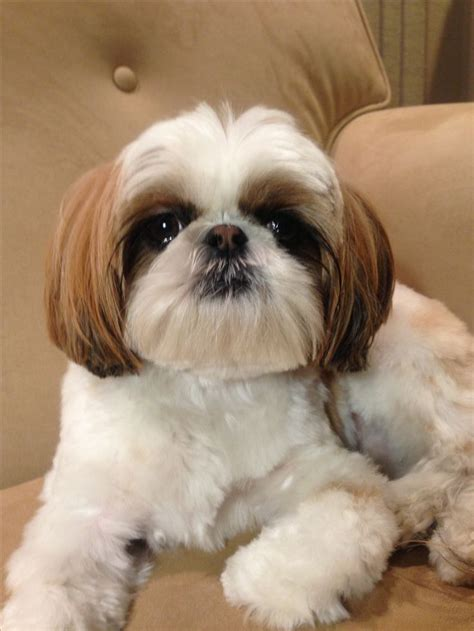shih tzu p top 132 ideas about pretty shih tzu mommie on image search shih