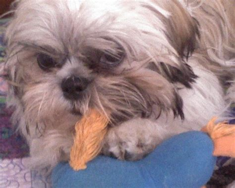 shih tzu chewing shih tzu images hd wallpaper and background photos 5990583