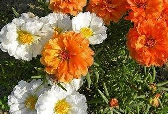 fiore di porcellana portulaca fiori di porcellana paperblog