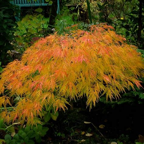 japanese maple shade waterfall japanese maple for sale the tree center