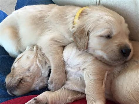 the golden retriever bracknell golden retriever pup bracknell berkshire pets4homes