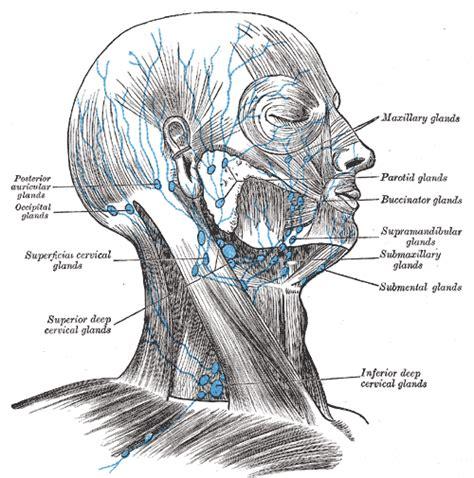 lymph node wikipedia superior deep cervical lymph nodes wikipedia