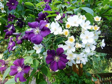 Clematis Viticella Etoile Violette 4887 by Shoreline Area News In The Garden Now Clematis Etoile