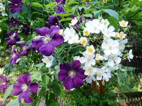 Clematis Und 3453 by Shoreline Area News In The Garden Now Clematis Etoile