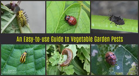 Guide To Vegetable Garden Pests Identification And Vegetable Garden Pests