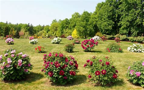 flowering shrubs for meadow with flowering shrubs wallpapers and images