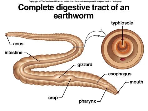 diagram of the earthworms digestive system earthworm