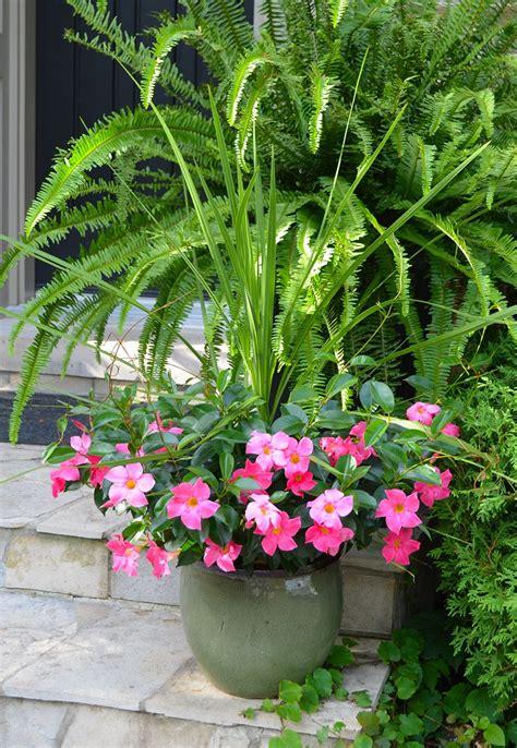 pink rio dipladenia container garden  dracaena spike