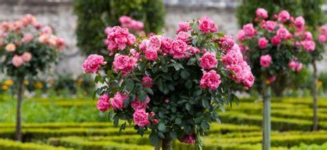 ft standard rose sale plant sales plant specials