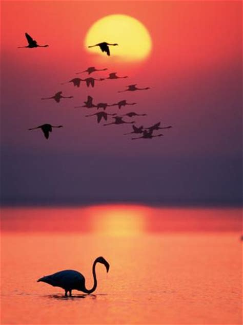 Flamingo Sunset greater flamingos at sunset sta fotografica su