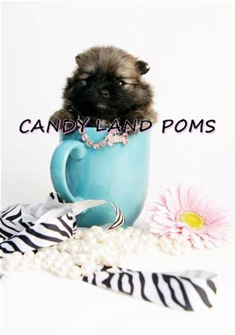 teacup pomeranian for sale in san antonio teacup teddy pomeranian puppies for sale in houston