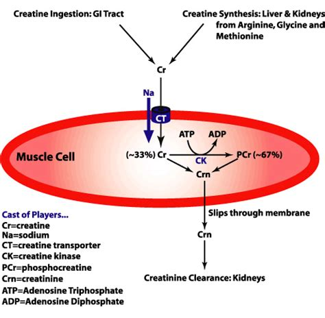 creatine phosphate functions in the cell by vitalstoffe positive wirkung kreatin im alter und f 252 r