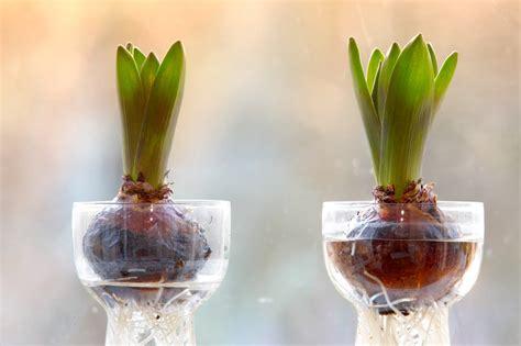 Glass Hyacinth Vases Hyazinthen Im Glas Ziehen 187 So Wird S Gemacht