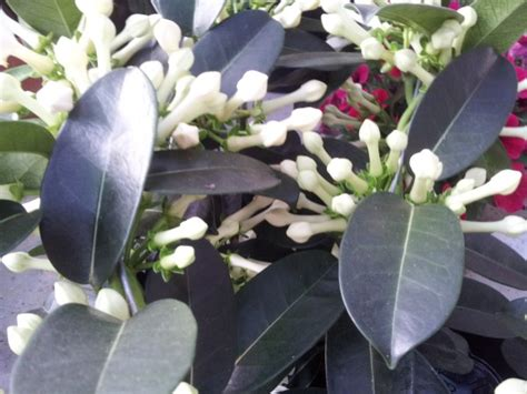 Come Si Riproduce Il Gelsomino by Gelsomino Madagascar Stephanotis Coltivazione