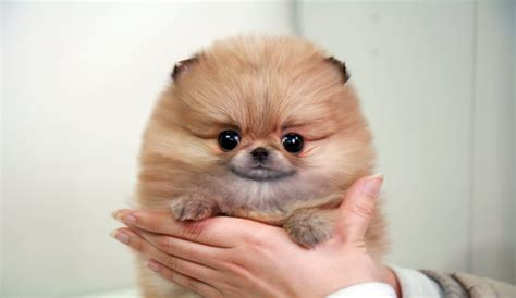 tiniest tiny micro teacup pomeranian puppy micro white teacup pomeranian puppies pictures to pin on pinsdaddy