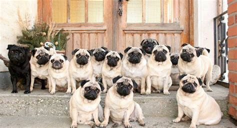 pug groups photo pugs and pals