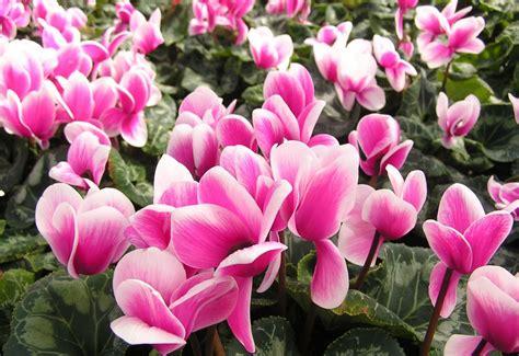 piante invernali con fiori 10 piante resistenti al freddo fioriscono in inverno