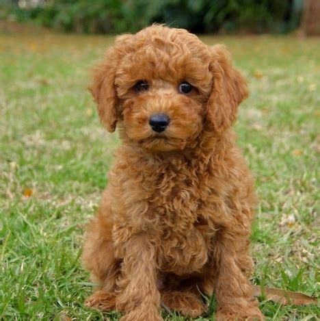 puppies ky poodle puppies ky photo