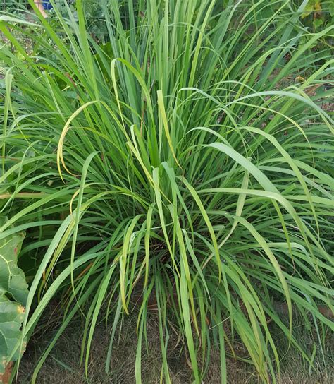 What Plants Keep Mosquitoes Away 100 plants to keep mosquitoes away 4 plants you can