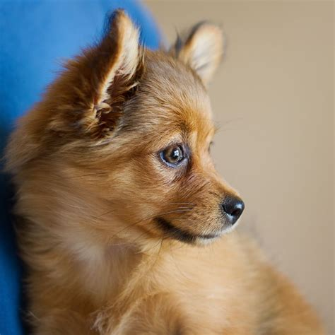 pomeranian mix yorkie porkie www imgkid the image kid has it