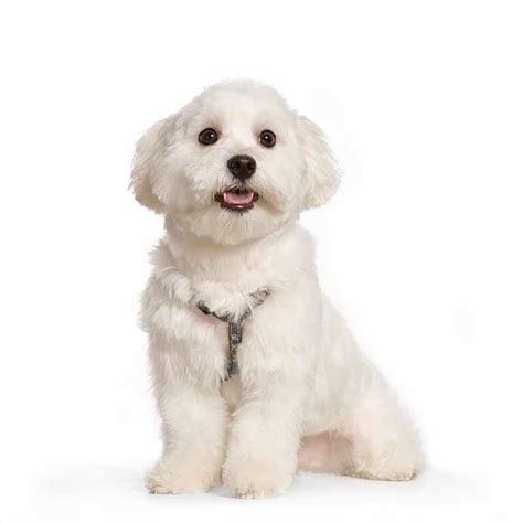 maltese puppy names small names unique names for your
