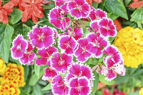 dianthus plant companions learn about plants that work well with dianthus