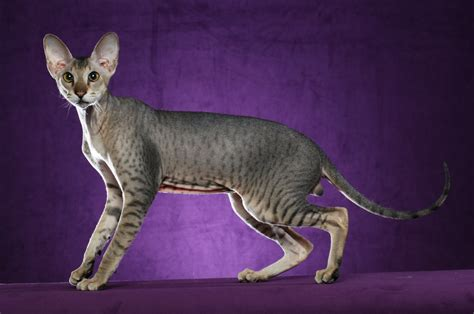introducing a cat to a new home home lykoi cats the