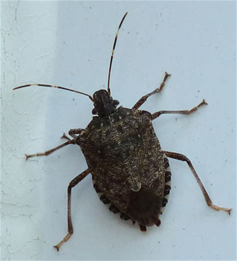 Name A Bug To Find In Their House Brown Marmorated Stink Bug