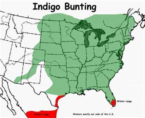 indigo bunting range map photographs of indigo buntings