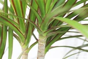 dracaena marginata plant watering pruning propagation