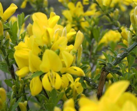 Pflanzen Versand 1272 by Cytisus X Beanii Kriechginster 30 40 Www
