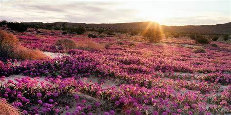 anza borrego desert flowers anza borrego desert flowers anza borrego desert