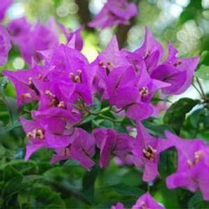 Jual Bibit Bunga Bougenville jual bunga bougenville tercantik harga terjangkau jual