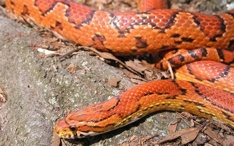 corn snake wallpaper 112314
