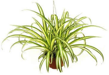 Tanaman Yellow Dracaena tanaman rumahan yang bermanfaat tanaman hias yang mudah