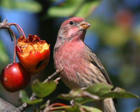 what does a house finch eat what do house finches eat 28 images house finch early birds back yard biology