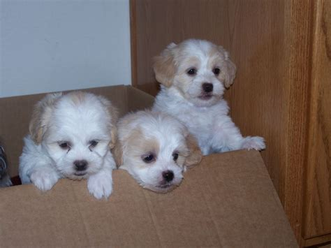 shih tzu family family raised shih tzu breeder creek arizona