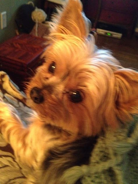 yorkie eye boogers 17 best images about pets on teacup pomeranian teacup maltese puppies and