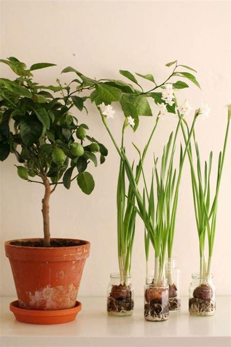 indoor fruit plants indoor fruit plants 25 best ideas about bonsai fruit