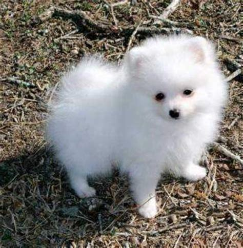 pomeranian for sale uk quality pomeranian puppies boys and for sale
