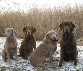 chesapeake bay retriever colors silver labrador history