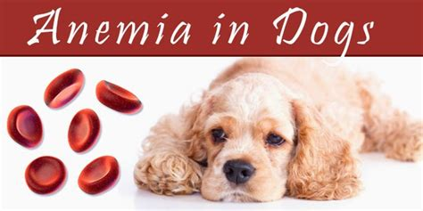 anemia in puppies anemia in dogs causes symptoms treatment complications