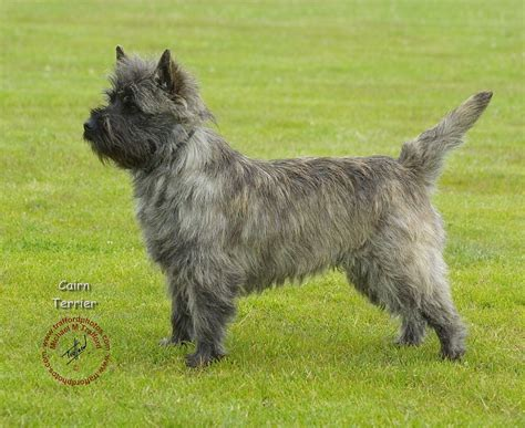 cairn terrier cut styles cairn terrier haircut styles photos of cairn terrier