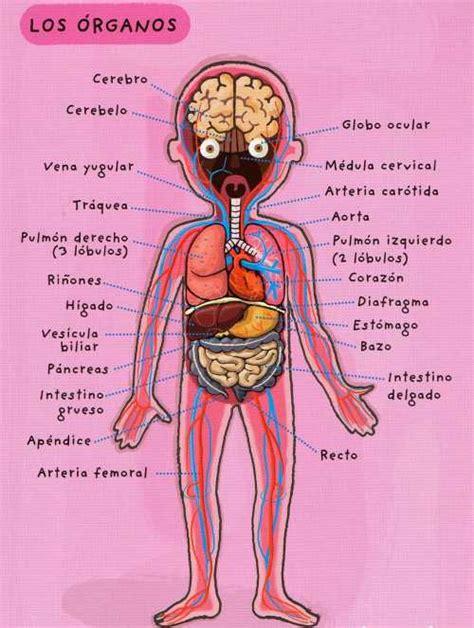 imagenes reales de organos del cuerpo humano 211 rganos del cuerpo web del peque