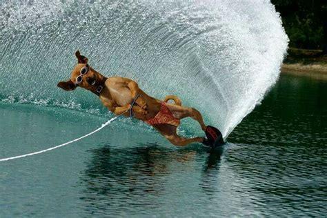 1 year water skiing water skiing doggies